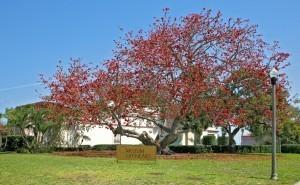 Kapok aka Bombak Tree